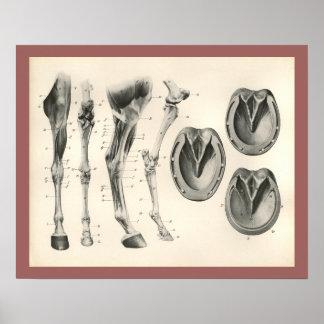 Poster Copie d'anatomie de muscle d'os de jambe de sabot