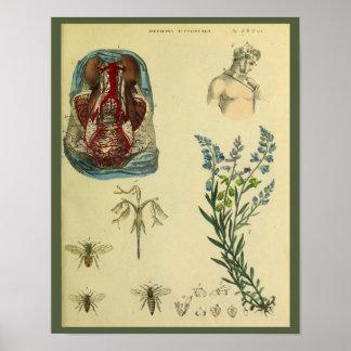Poster Copie d'art d'anatomie d'abeilles d'artères