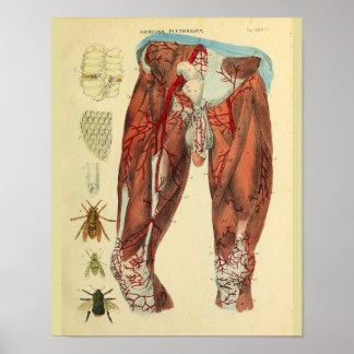 Poster Copie d'art d'anatomie d'abeilles d'artères de