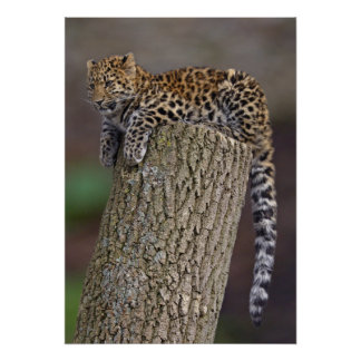 Poster Copie de la queue d'un léopard