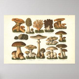 Poster Copie fongueuse de variété de 1894 champignons en