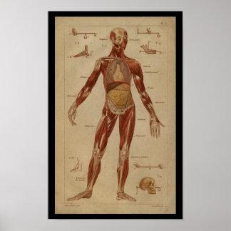 Poster Copie humaine vintage interne d'anatomie de
