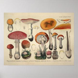 Poster Copie pourpre orange de variété de champignon du