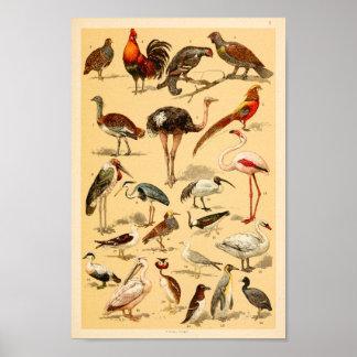Poster Copie sauvage d'autruche de flamant de collection