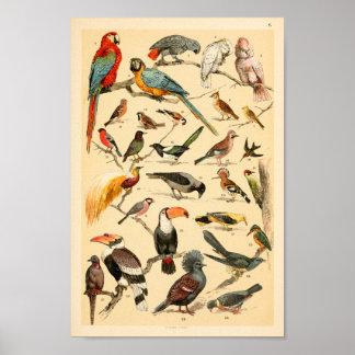 Poster Copie sauvage de Tucan de perroquets de collection