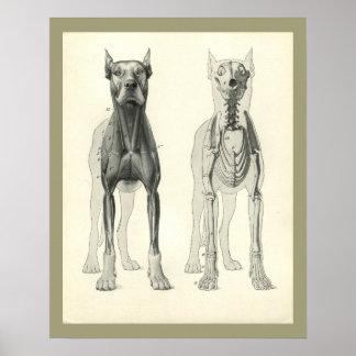 Poster Copie squelettique d'anatomie de muscle de jambes