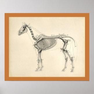 Poster Copie squelettique vétérinaire d'anatomie de