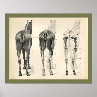 Poster Copie vétérinaire d'anatomie de muscle