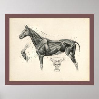 Poster Copie vétérinaire d'anatomie de muscle de cheval