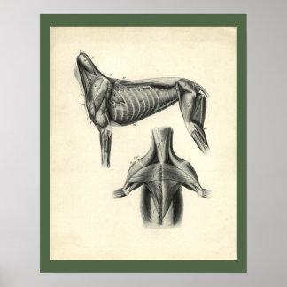 Poster Copie vétérinaire d'anatomie de muscle de chien