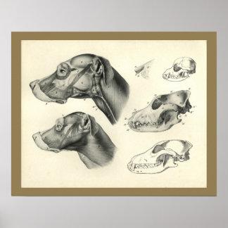 Poster Copie vétérinaire d'anatomie de muscle de tête de