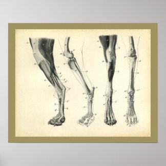 Poster Copie vétérinaire d'anatomie de muscle d'os de