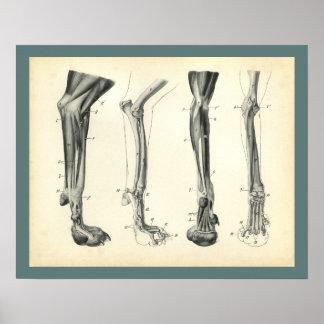 Poster Copie vétérinaire d'anatomie de muscles d'os de