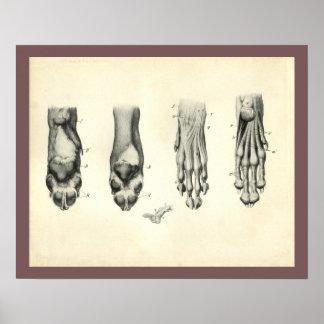 Poster Copie vétérinaire d'anatomie de patte de pied de