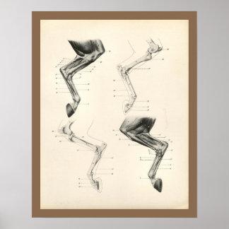 Poster Copie vétérinaire d'anatomie d'os de jambe de