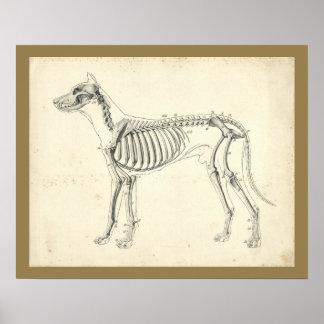 Poster Copie vétérinaire d'anatomie d'os de squelette de