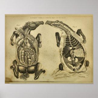 Poster Copie vétérinaire vintage d'anatomie interne de
