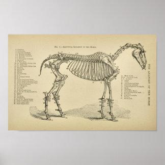 Poster Copie vétérinaire vintage d'anatomie squelettique