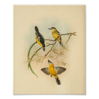 Poster Copie vintage affrontée blanche d'oiseau jaune de