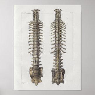Poster Copie vintage d'anatomie de 1867 os de colonne