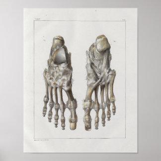 Poster Copie vintage d'anatomie de 1867 os de pied