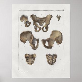 Poster Copie vintage d'anatomie de 1867 os pelviens