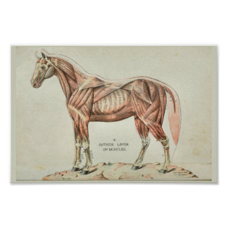 Poster Copie vintage d'anatomie de muscle de cheval