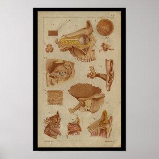Poster Copie vintage d'anatomie de nerfs d'oreille d'oeil