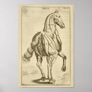 Poster Copie vintage d'art d'anatomie de muscle de cheval