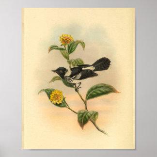 Poster Copie vintage de FLYCATCHER d'oiseau pie de noir