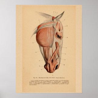 Poster Copie vintage française d'anatomie de muscle de