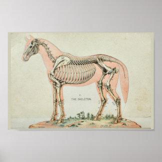 Poster Copie vintage squelettique d'anatomie de cheval
