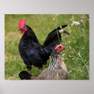 Poster Coq et poule