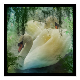 Poster Cygnes romantiques de blanc de lac swan de ressort