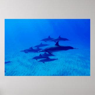 Poster Dauphins nageant en mer bleue