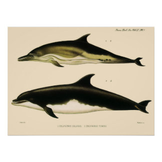 Poster Dauphins vintages, animaux marins et mammifères