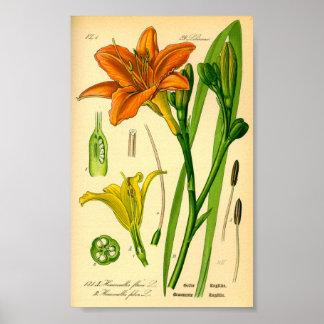 Poster Daylily de tigre (fulva de Hemerocallis)