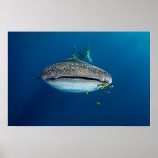 Poster De la vue d'un requin de baleine