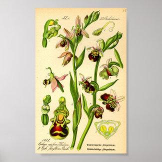 Poster Défunte orchidée d'araignée (fuciflora d'Ophrys)