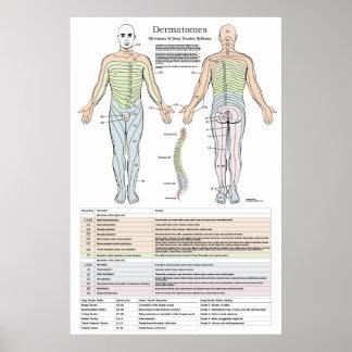 Poster Dermatomes, Myotomes et affiche de DTR