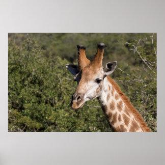 Poster Détail principal de girafe