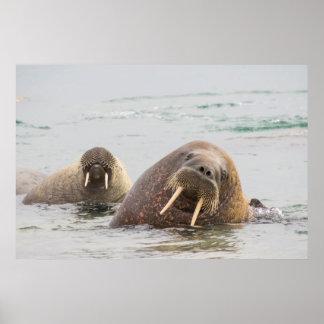 Poster Deux morses dans l'eau, Norvège