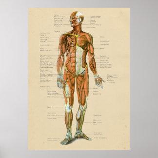 Poster Diagramme humain vintage d'anatomie de muscle