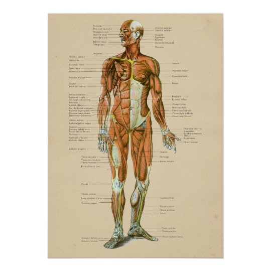 Poster Diagramme humain vintage d\'anatomie de muscle | Zazzle.fr