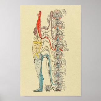Poster Diagramme médical d'anatomie de nerfs sensoriels