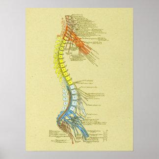 Poster Diagramme médical d'anatomie d'épine cervicale de