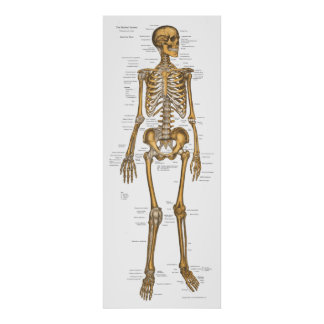 Poster Diagramme squelettique humain 24 x 60 d'anatomie