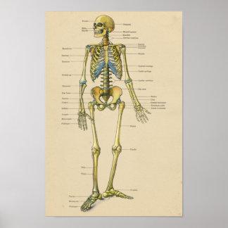 Poster Diagramme squelettique humain vintage d'anatomie