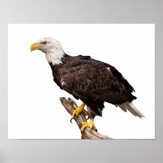 Poster Eagle chauve