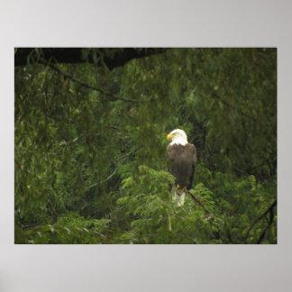Poster Eagle chauve américain
